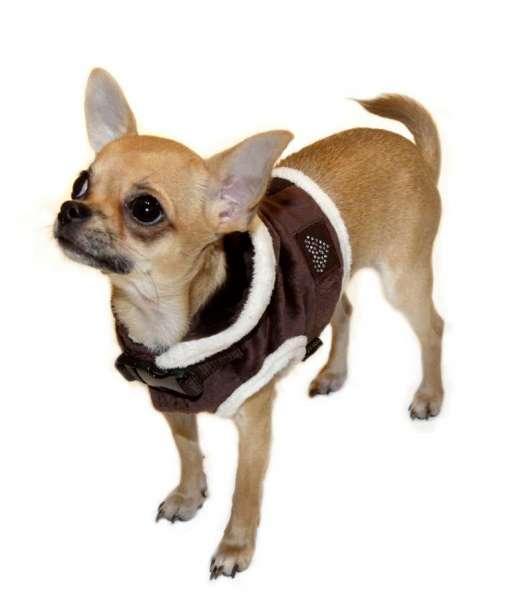 Westengeschirr Darling Choco mit Chihuahua